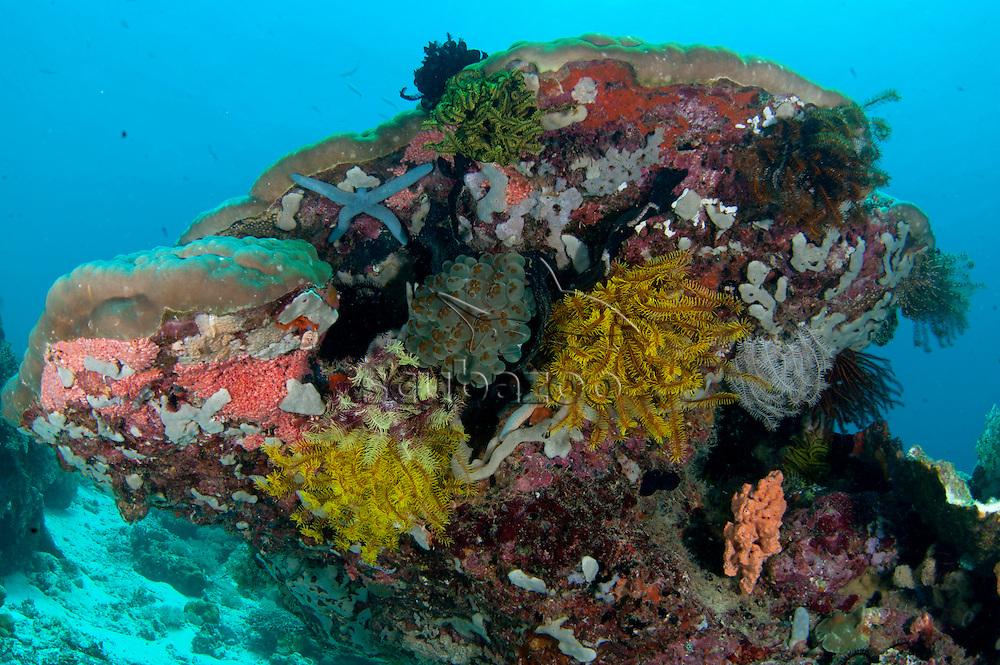 Blue Sea Star, Linckia laevigata, with a missing arm beneath a rocky outcrop, Semporna Straits, Sabah, Malaysia, Borneo.