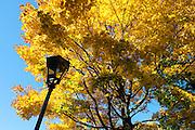 Herbstlicher Baum, Schlosspark Pillnitz, Pillnitz, Dresden, Sächsische Schweiz, Elbsandsteingebirge, Sachsen, Deutschland | autumn tree, Pillnitz Castle Gardens, Pillnitz, Dresden, Saxon Switzerland, Saxony, Germany