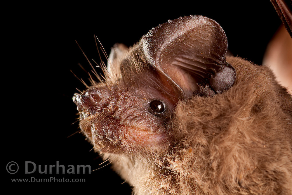 A mexican free-tailed bat (Tadarida brasiliensis) perching at ngiht. Central Texas.