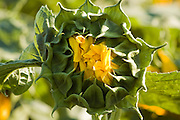 Israel, Sunflower bud in a field