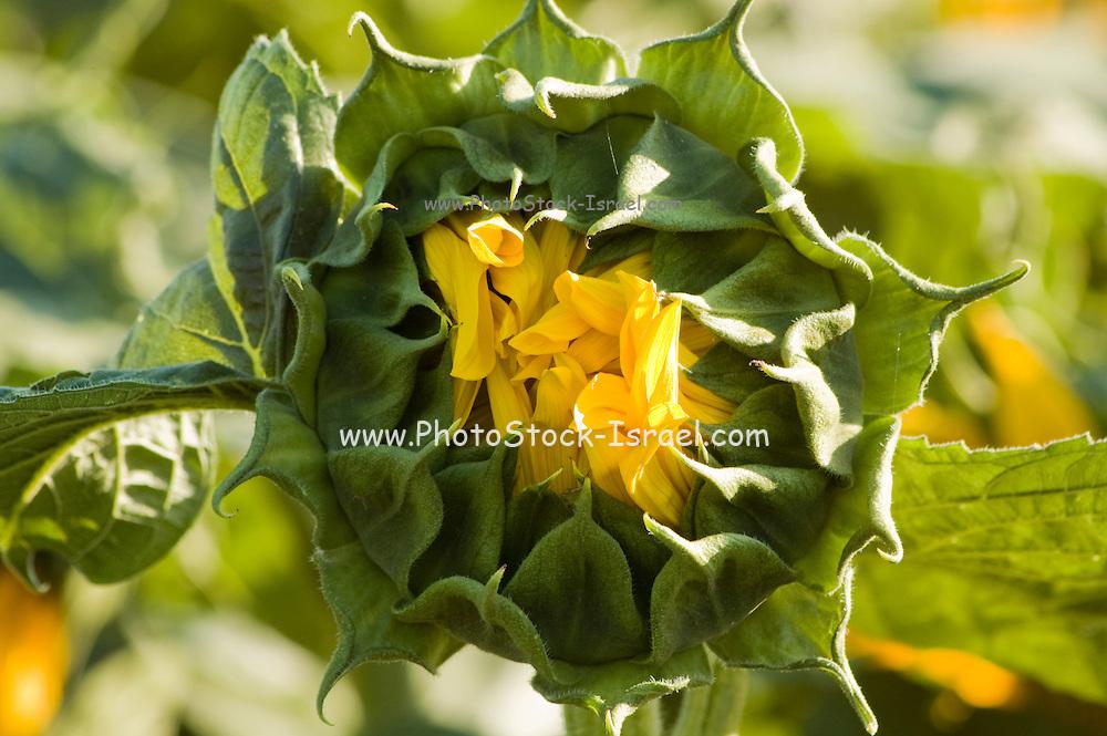Israel, Sunflower bud in a field