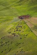 Cattle, Ranch Land, Kohala Mountain Road , Route 250, North Kohala, Big Island of Hawaii