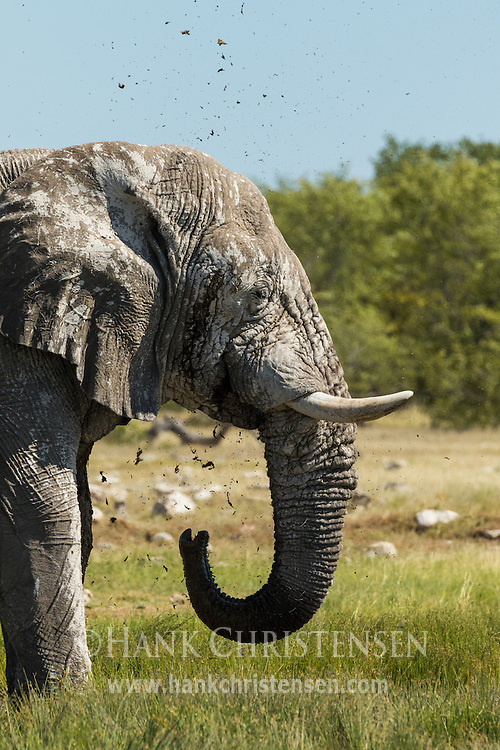 An african elephant gives itself a mudbath at a waterhole, Etosha National Park, Namibia.