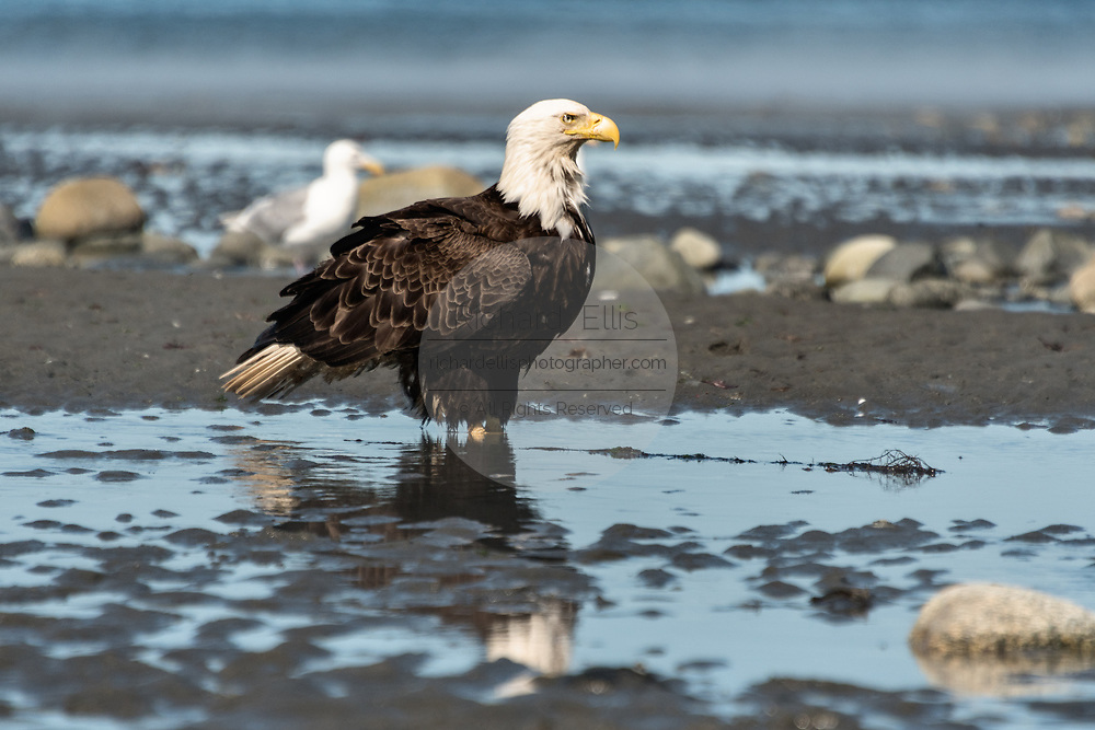 An adult bald eagle stands on the beach at Anchor Point, Alaska.