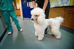 Standard poodle at Rushcliffe Veterinary Surgery, Nottingham, UK.