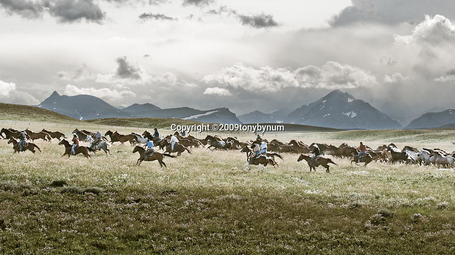 cowboys running horse herd to rodeo in montana, glacier national park back ground