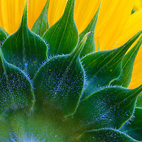 Close-up image of the back of a sunflower (Helianthus annuus), McKee-Beshers Wildlife Management Area, Poolesville, Maryland.