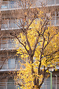 A ginko tree lit up by late afternoon sunlight in front of an apartment building.