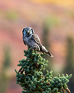 A Northern Hawk owl pauses at the top of a spruce tree with a recent catch n its talons in the Alaskan interior.