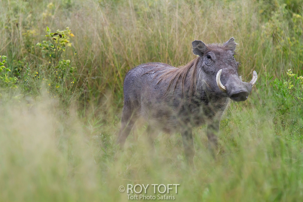 Portrait of a warthog standing in the tall grass, Botswana, Africa