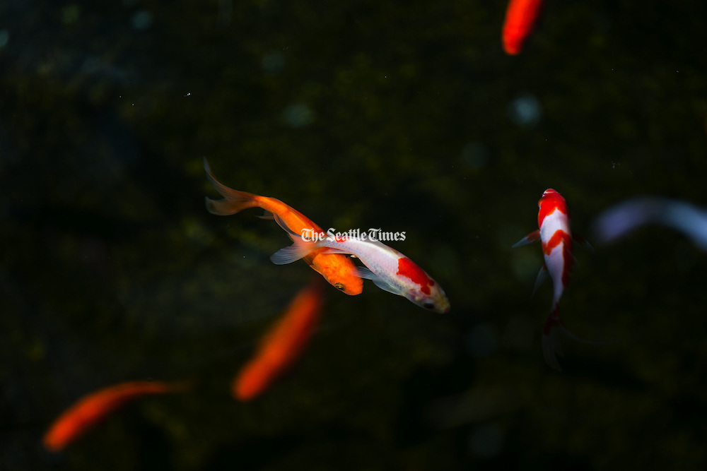 Koi fish swim in the pond at the Ksitigarbha Temple in Lynnwood during the Kuan Yin Bodhisattva Ceremony. (Bettina Hansen / The Seattle Times)