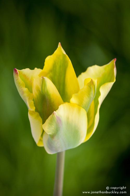 Tulipa 'Formosa'