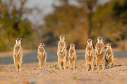 A Meerkat group stands together to catch the last of the suns energy before returning to the burrow.