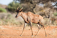 Tsesebe bull walking to water, Mokala National Park, Northern Cape, South Africa