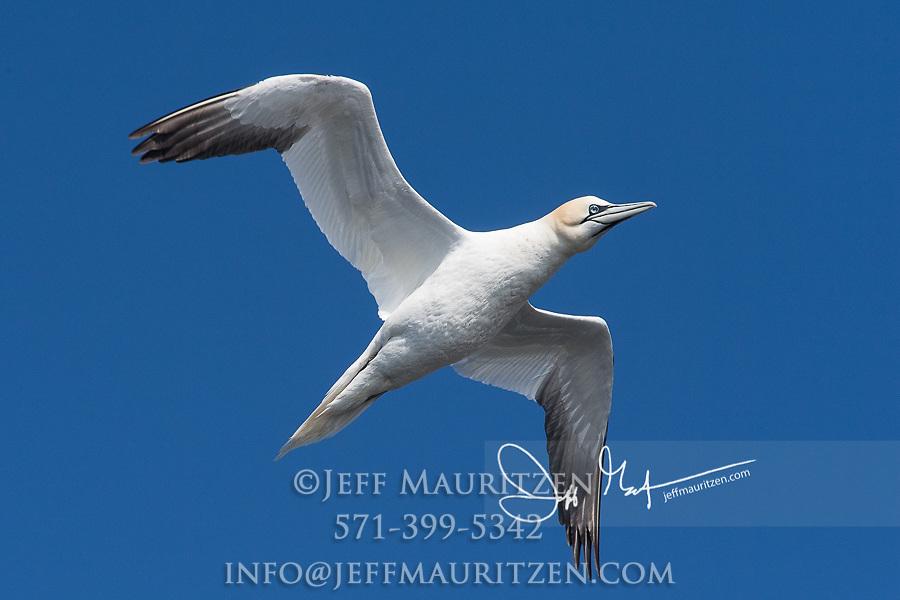 A lone Northern gannet in flight.