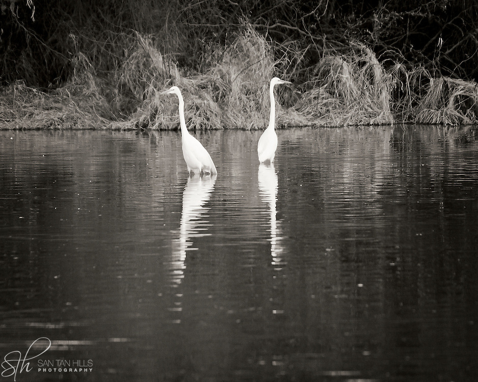 Birds standing guard - Riparian Preserve, Gilbert, AZ