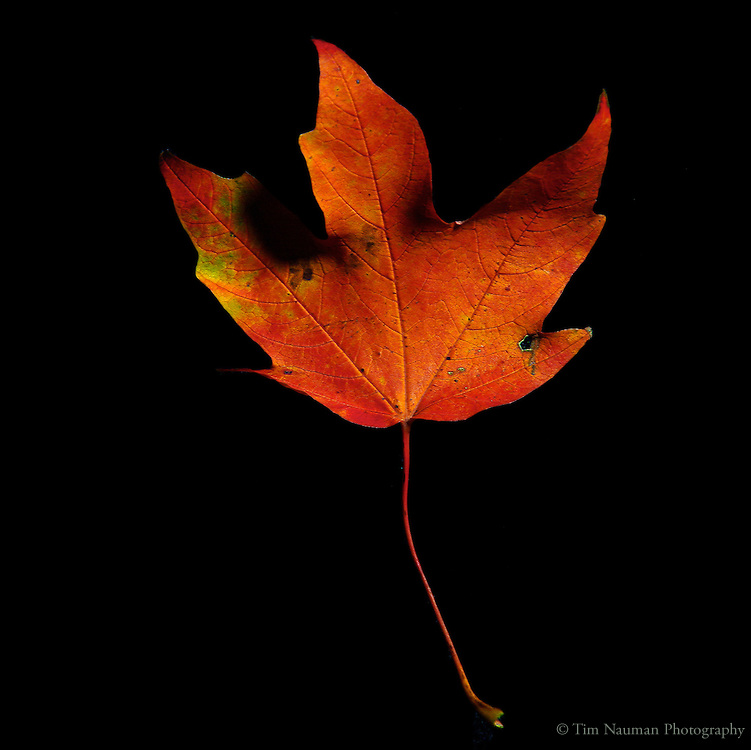 close up of fall leaf against black background | Tim ...