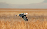 A Great Blue Heron flys back to the nest it is building.