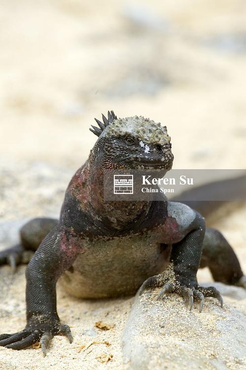 Marine iguanas, Galapagos Island, Ecuador