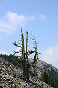 An ancient whitebark pine growing in a talus slope below the summit of Mount Henry in summer. Mount Henry Roadless Area in the Purcell Mountains, northwest Montana.