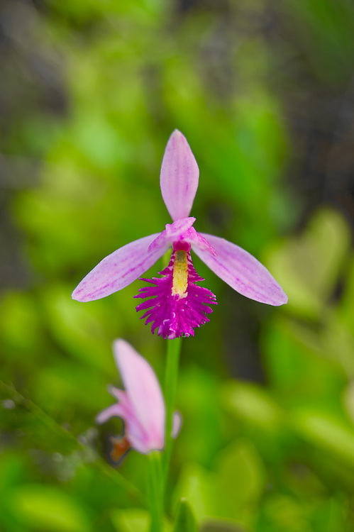 The brilliantly pink rose pogonia orchid growing wild in Goethe State Forest in Central Florida.