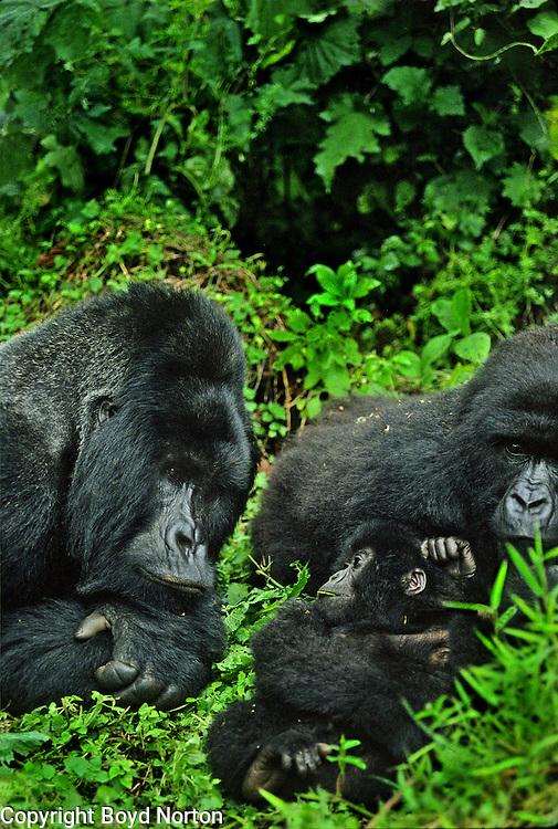 Proud papa; silverback mountain Rugabo; Virunga National Park, Zaire (now Democratic Republic of the Congo)