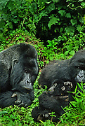 Proud papa; silverback mountain Rugabo; Virunga National Park, Zaire (now Democratic Republic of the Congo); Rugabo killed by poachers in 1994.