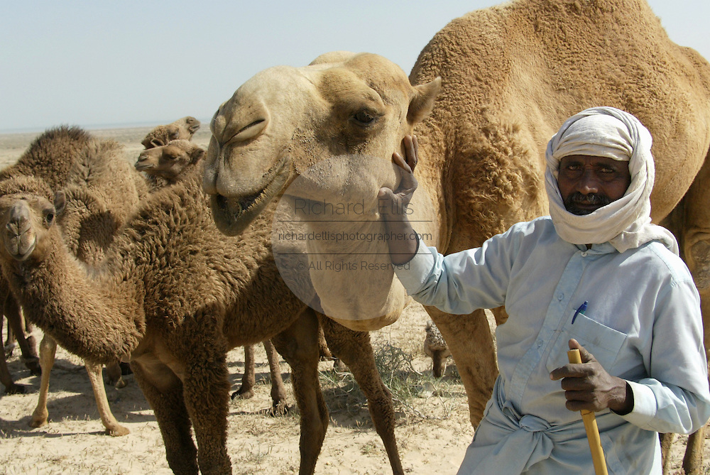 A Kuwaiti nomad with a herd of dromedary camels in the desert of northern Kuwait near the Iraq border.