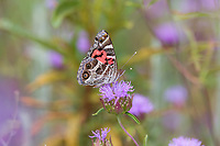 Vanessa virginiensis (American Lady) at Dry Meadow Creek, Tulare Co, CA, USA, on Mint 09-Jul-17