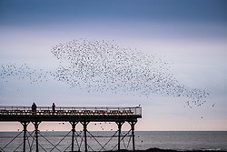 © Licensed to London News Pictures. 19/11/2017. Aberystwyth, Wales, UK. A grey and overcast November evening in Aberystwyth, birdwatchers of all ages gather to watch in awe as thousands of starlings swoop in fantastic 'murmurations' in the sky above the town, before descending to settle in chattering masses on the legs of the town's Victorian era seaside pier. The birds then huddle together for warmth and safety on the girders and beams under the floors of the pier. The nightly displays draw crowds of viewers and photographers from far and wide, but the birds are deeply unpopular with the local farming communities, who see them as pests which eat valuable animal feed and foul the livestock's barns and drinking water .Photo credit: Keith Morris/LNP