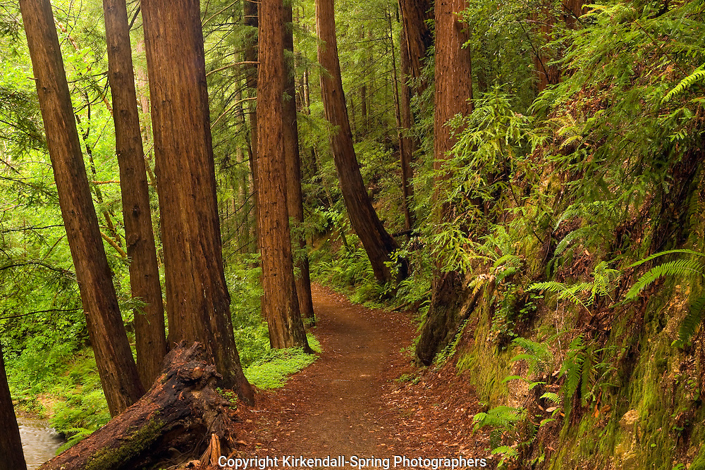 CA01561-00...CALIFORNIA - The Skyline to the Sea Trail passing through a redwood trees in the West Waddell Creek State Wilderness section of Big Basin Redwoods State Park.