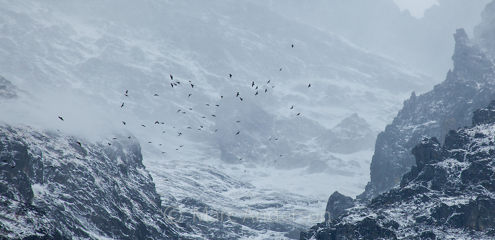 A flock of Alpine Chough or Yellow-billed Chough, (Pyrrhocorax graculus) soaring in misty mountains, Langtang Valley, Nepal