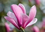 Magnolia (Liliflora x sprengeri 'Diva') Galaxy. The Valley Gardens<br /> Surrey, UK
