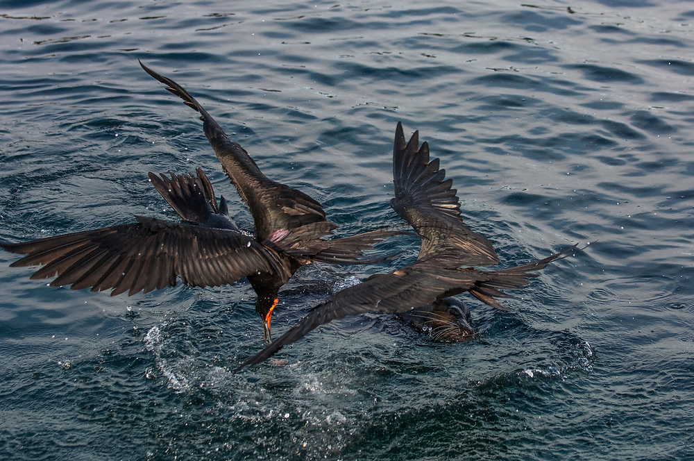 Great frigatebirds (Fregata minor) scavenging scraps of Yellow-finned tuna (Thunnus albacares) which was being eaten by a  a Galapagos sealion (Zalophus wollebaeki)<br /> GALAPAGOS ISLANDS  ECUADOR South America<br /> Breed on Genovesa (Tower), Seymour and San Cristobal Islands in the Galapagos.<br /> RANGE: They breed in the w, e and central Pacific and Revillagigedo, Cocos and Galapagos Islands. Also on Trindade Island, Martin Vaz Island and range to Brazil. In the w Indian Ocean on Aldabra and adjacent islands as well as Christmas Island. In the S. China Sea on Paracel Island.<br /> This is one of 2 species found in Galapagos. They have the largest wingspan-to-bodyweight ratio of any bird making them highly manoeuvrable and acrobatic. These seabirds range long distances to feed, scooping fish off the surface as they can not land at sea.