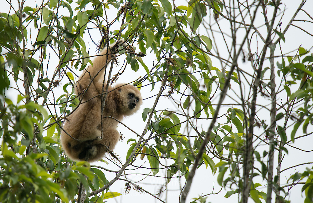 A wild Lar Gibbon (Hylobates lar), also known as the White-handed Gibbon, is a primate in the Hylobatidae or gibbon family.
