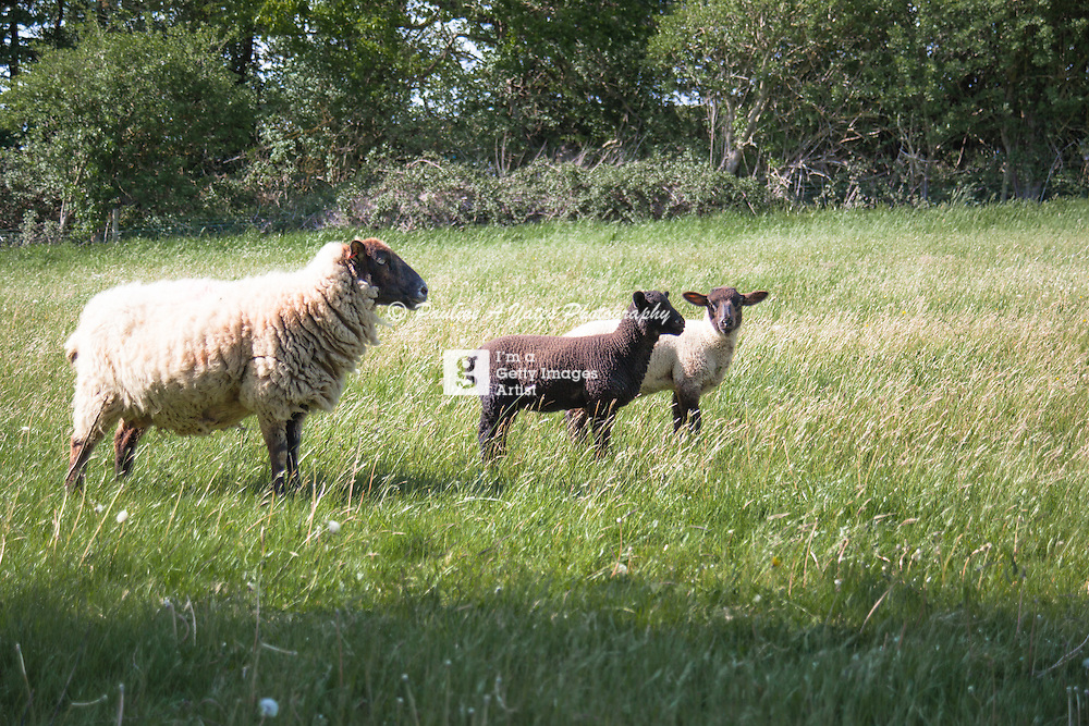 A ewe watches over her twin lambs in the early summer sun, in a field in Oxfordshire