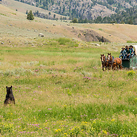 A curious black pear pops up from the grass when he hears a wagon heading his way in Yellowstone National Park.