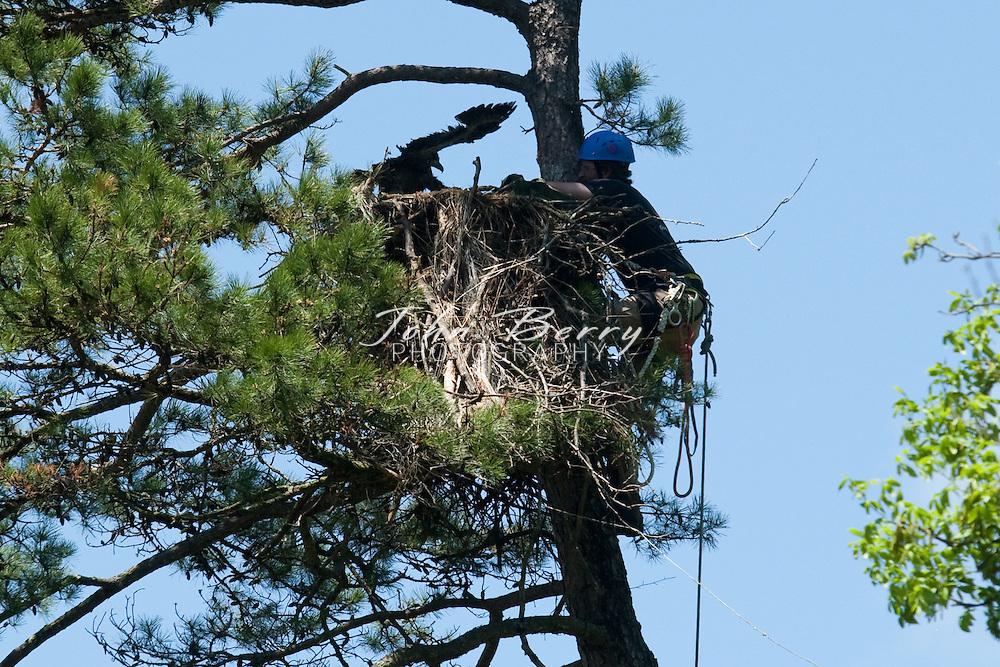 Banding Eaglet  .5/7/2009