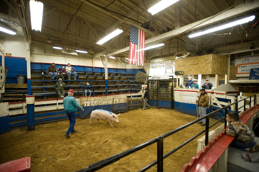 Man in pen with a pig at auction at Four States Livestock Auction, Hagerstown Maryland