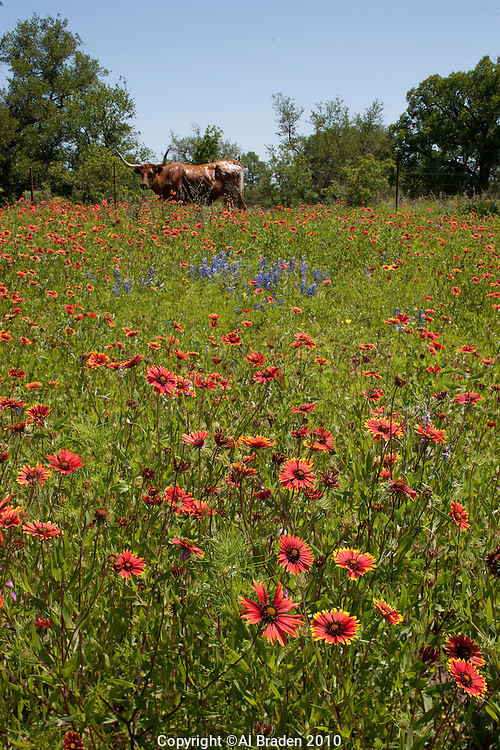 Longhorn in the Indian Blanket Field, Llano County