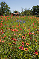 Longhorn in the Indian Blanket Field, Llano County