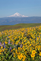 WA13110-00...WASHINGTON - The balsamroot and lupine covered meadows of Dalles Mountain Ranch located in view of Mount Hood while overlooking the Columbia River in the Columbia Hills State Park.