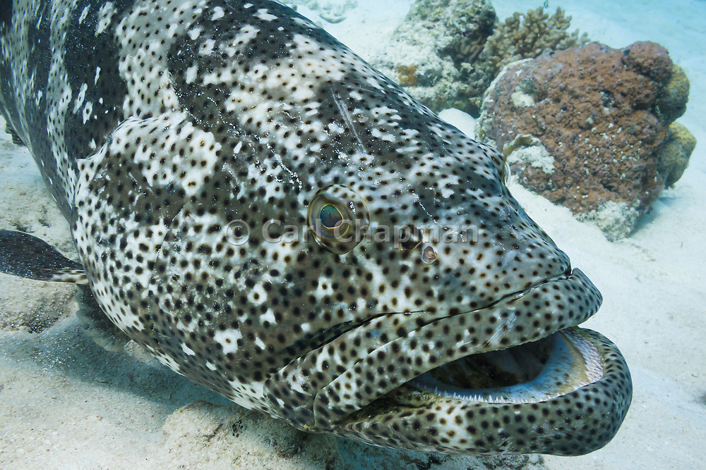 Malabar Cod or Grouper (Epinephelus malabaricus) on coral reef - Agincourt reef, Great Barrier Reef, Queensland, Australia
