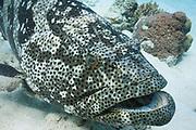 Malabar Cod or Grouper (Epinephelus malabaricus) on coral reef - Agincourt reef, Great Barrier Reef, Queensland, Australia