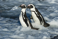 African Penguins fighting in the shallows, Bird Island, Algoa Bay, Eastern Cape, South Africa