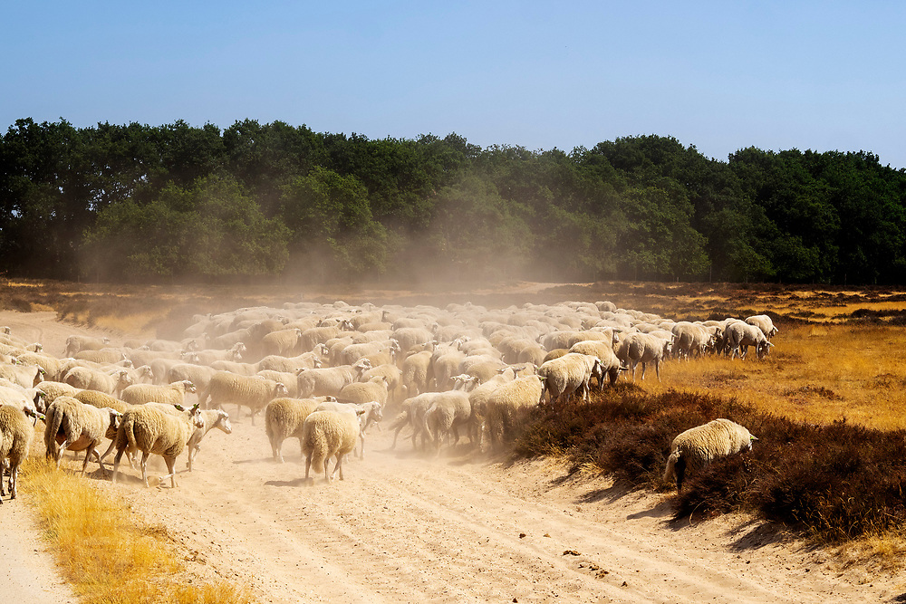 Nederland, Ede, 27-07-2018<br /> Een schaapskudde graast op de heide van de Veluwe bij de Ginkelse Heide.<br /> <br /> Sheep graze at the moorlands of the Veluwe.<br /> Foto: Bas de Meijer / De Beeldunie