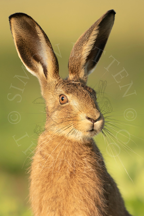 European Hare (Lepus europaeus) juvenile, close up of head in sugar beet crop, South Norfolk, UK. June.