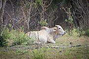 Cattle grazing within the boundry of Matobo National Park, Zimbabwe.