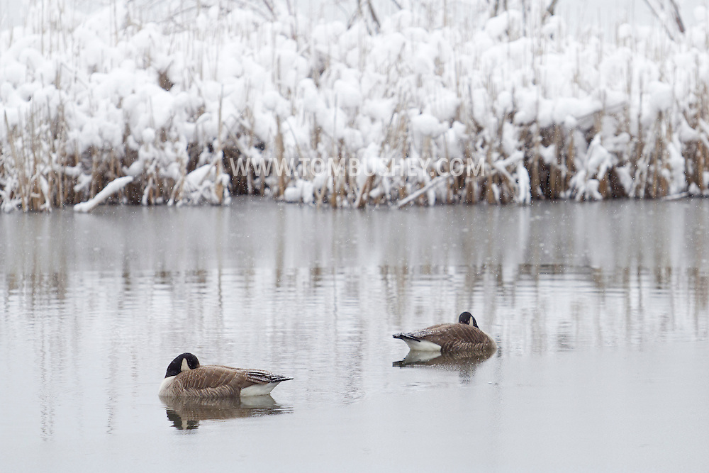 Middletown, New York - Canada geese in a pond with snow-covered cattails in the background during a snowstorm onMarch 8, 2013.