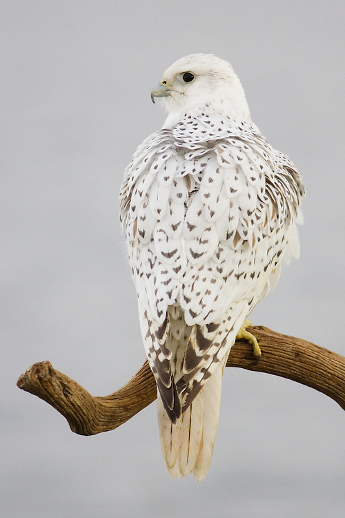 Gyrfalcon, used for educational purposes.  Image captured in Colorado.  The gyrfalcon is the largest of all falcons.  The white phase occurrs mainly in the arctic.